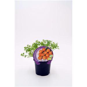 Justo de tamaño ´Zanahoria París M-10,5 Daucus carota