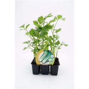 Pack Apio 6 Ud. Apium graveolens
