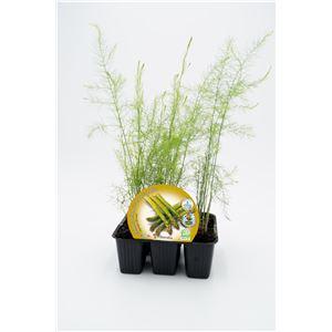 Pack Espárrago 6 Ud. Asparagus officinalis