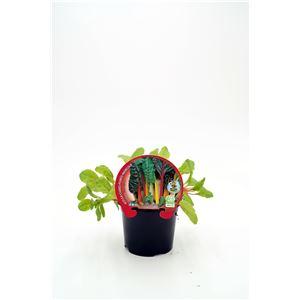 Acelga Colores M-10,5 ECO