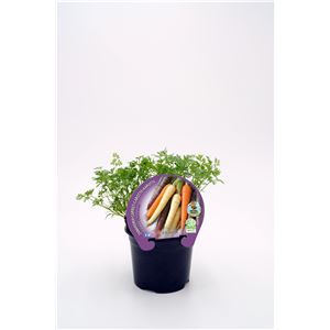 Justo de tamaño ´Zanahoria Colores M-10,5 Daucus carota
