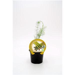 Espárrago M-10,5 Asparagus officinalis
