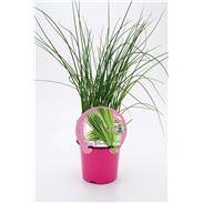Cebollino M-10,5 ECO Allium schoenoprasum - 02030006 (1)
