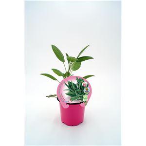 Salvia M-10,5 ECO Justo de tamaño