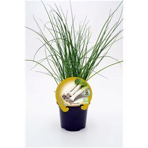 Justo de tamaño ´Puerro M-10,5 Allium porrum