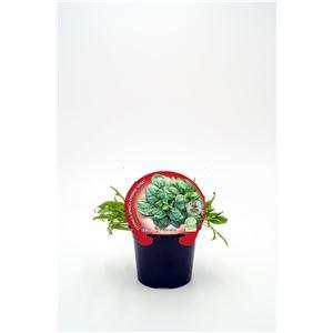 Justa de tamaño. Espinaca M-10,5 Spinacia oleracea