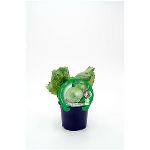 Lechuga Iceberg M-10,5 Lactuca sativa