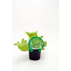 Lechuga Trocadero M-10,5 ECO Lactuca sativa