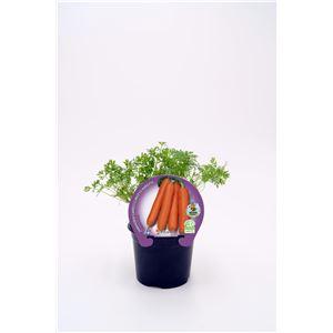 Zanahoria M-10,5 ECO Justo de tamaño