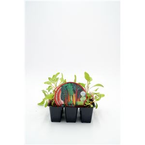 Pack Acelga Colores ECO 6 Ud. ECO