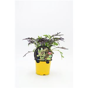 Mostaza M-10,5 Brassica juncea