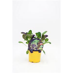 Tatsoi M-10,5 Brassica rapa var. narinosa