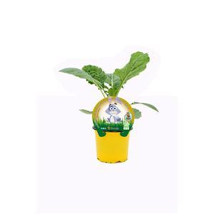 Col Forrajera Especial Conejos M-10,5 Brassica acephala