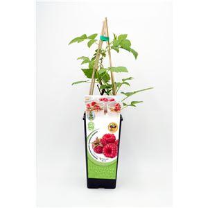 Frambuesa 2l Rubus idaeus