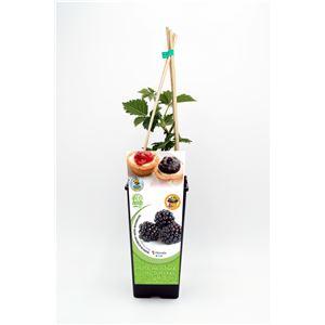 Mora 2l Rubus fruticosus