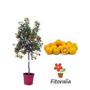 Calamodin M-25 - Citrofortunella microcarpa - 03051001 (0)