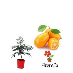 Kumquat 5 l (M-22) - Fortunella margarita
