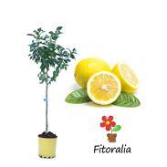 Limonero Eureka 10 l (M-25) - Citrus x limon - 03051006 (0)