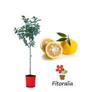 Mandarino Clementino Marisol - 03051009 (0)