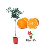 Naranjo M-25 - Citrus X sinensis - 03051011 (0)