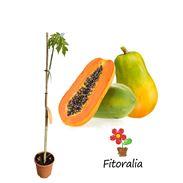 Papaya (bolsa) - 03050101