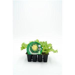 Pack Escarola 12 Ud. Cichorium endivia