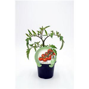 Tomate Cherry Redondo M-10,5 Solanum lycopersicum