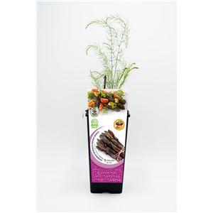 Espárrago Violeta 2l Asparagus officinalis