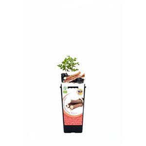Regaliz 2l Glycyrrhiza glabra