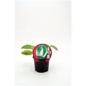Col China M-10,5 Brassica pekinensis