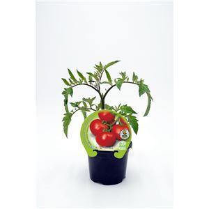 Tomate Racimo M-10,5 Solanum lycopersicum