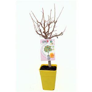 Albaricoquero Enano Garden Aprigold 5l - Prunus armeniaca
