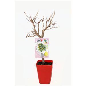 Ciruelo Enano Goldust 5l - Prunus domestica