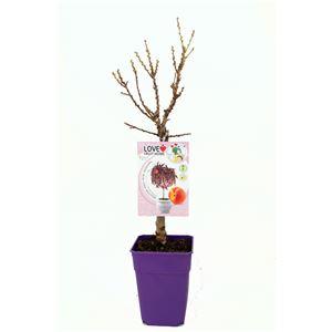 Melocotonero Enano Crimson Bonfire 5l - Prunus persica