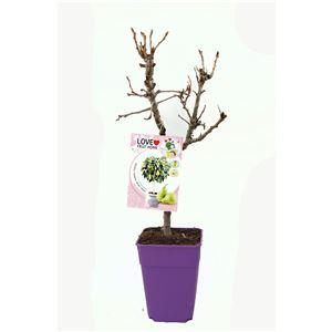 Peral Enano Garden Pearl 5l - Pyrus communis