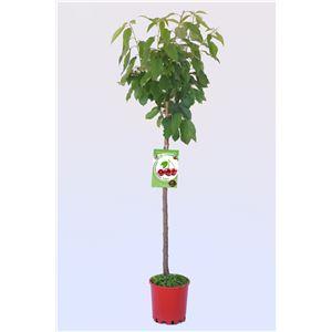Cerezo Burlat M-25 - Prunus avium