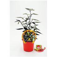 Justo de tamaño ´Picante Black Olive M-10,5 Capsicum annuum - 02028002 (1)