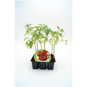 Pack Tomate Raf 6 Ud. Solanum lycopersicum