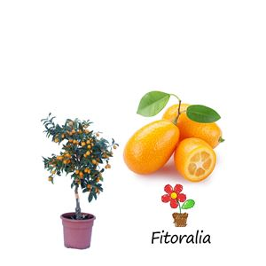 Kumquat 10 l (M-25) - Fortunella margarita