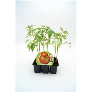 Pack Tomate Ensalada Híbrido 6 Ud. Solanum lycopersicum