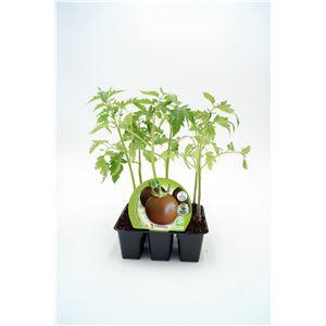 Pack Tomate Negro 6 Ud. Solanum lycopersicum