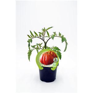 Tomate Corazón de Buey M-10,5 Solanum lycopersicum