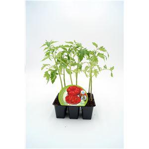 Pack Tomate Montserrat 6 Ud. Solanum lycopersicum
