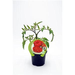 Tomate Montserrat M-10,5 Solanum lycopersicum
