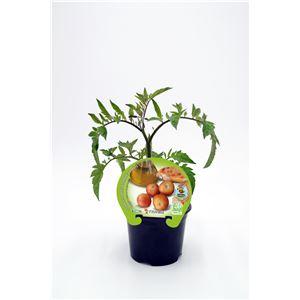 Tomate Colgar M-10,5 Solanum lycopersicum