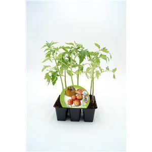 Pack Tomate Colgar 6 Ud. Solanum lycopersicum