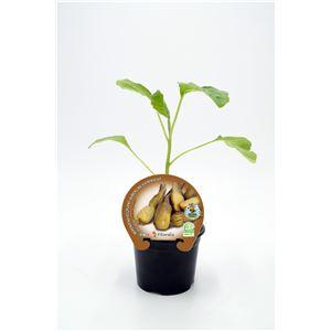 Justo de tamaño ´Berenjena Almagro M-10,5 Solanum melongena