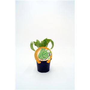 Judía Alta M-10,5 Phaseolus vulgaris