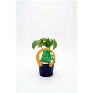 Judía Baja Redonda M-10,5 Phaseolus vulgaris