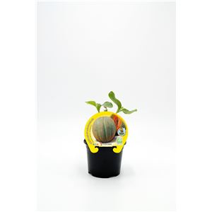 Melón Cantalup M-10,5 Cucumis melo var. cantalupensis